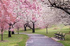 Branch Brook Park Cherry Blossoms